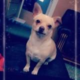Chien Chihuahua Mollie