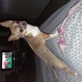 Chien Chihuahua Mona