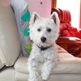 Chien West Highland White Terrier Moogly