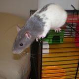 Rongeur Rat Mouchy