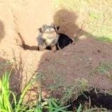 Chien Chihuahua Moustique