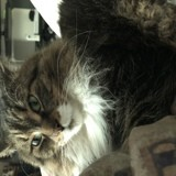 Chat Maine Coon Muffin