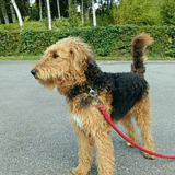 Chien Airedale Terrier Mulan