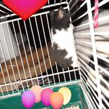 Rongeur Hamster Musclor