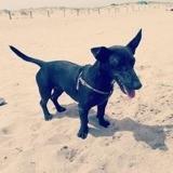 Chien Jack Russell Terrier Néo