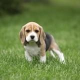 Chien Beagle Nachos