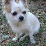 Chien Chihuahua Naia