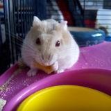 Rongeur Hamster Nairobi