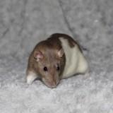Rongeur Rat Nala