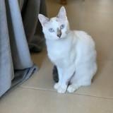 Chat Siamois Nala