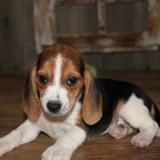 Chien Beagle Nana