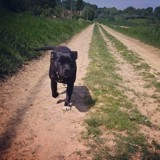 Chien Staffordshire Bull Terrier Naska