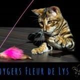 Chat Toyger Naury