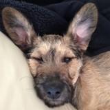 Chien Cairn Terrier Naya