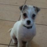 Chien Chihuahua Naya