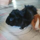 Rongeur Cochon d'Inde Negro
