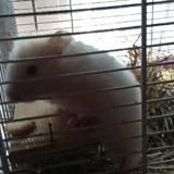 Rongeur Hamster Neige