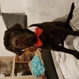 Chien Labrador Retriever Neiko