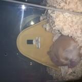 Rongeur Hamster Nejau