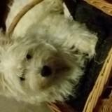 Chien West Highland White Terrier Nelson
