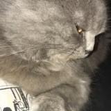Chat Scottish Fold à poil long Nesquik
