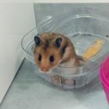 Rongeur Hamster Nesquik