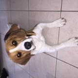Chien Beagle Nikko