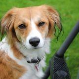 Chien Petit chien hollandais de chasse au gibier d'eau Nina