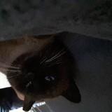 Chat Siamois Ninou