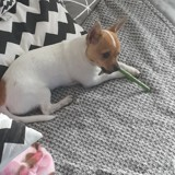Chien Chihuahua Nissa