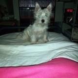 Chien West Highland White Terrier Noél