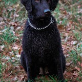 Chien Curly-Coated Retriever Noël