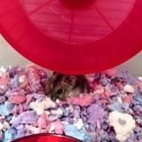 Rongeur Hamster Noisette