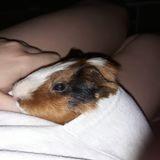 Rongeur Cochon d'Inde Noob Décédé