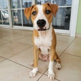Chien American Staffordshire Terrier Nouba