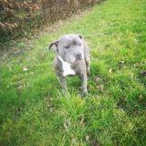 Chien Staffordshire Bull Terrier Nougat