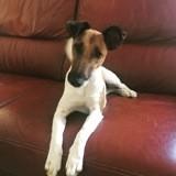 Chien Fox-Terrier Noumba