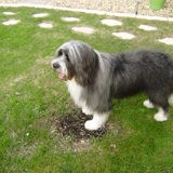 Chien Bearded Collie Nours