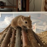 Rongeur Gerbille Nuts