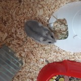 Rongeur Hamster Nuts