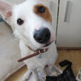 Chien Jack Russell Terrier Oasis