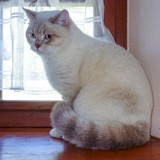 Chat British Shorthair Ocean Des Iscles