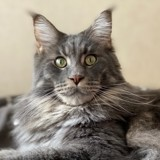 Chat Maine Coon Oddin