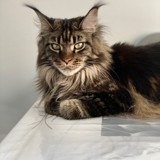 Chat Maine Coon Odessa