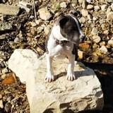 Chien American Staffordshire Terrier Odjam