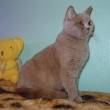 Chat British Shorthair Odyssée Du Coulazou