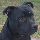 Chien Staffordshire Bull Terrier Oggy Des Guerriers Jean Bart