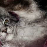 Chat Maine Coon Oh My Love