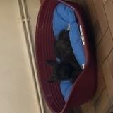 Chien Cairn Terrier Okley