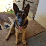 Chien Berger allemand Olfy